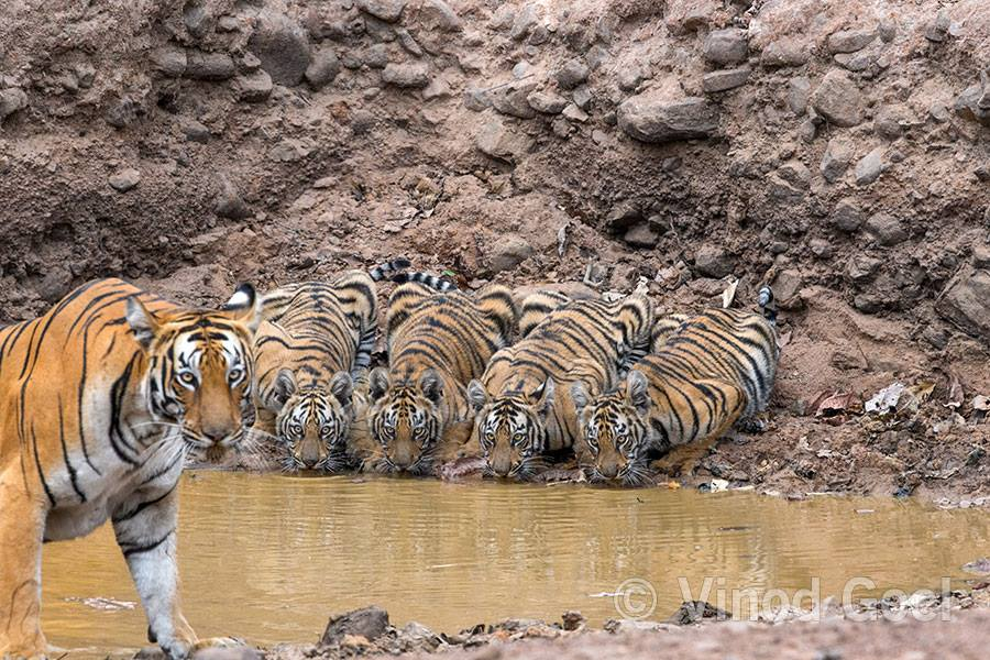 Tigress with cubs at Tadoba Andhari Tiger Reserve