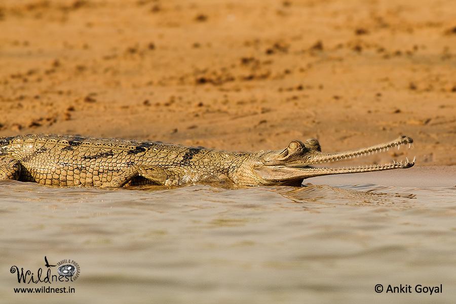 Chambal wildlife destinations near delhi