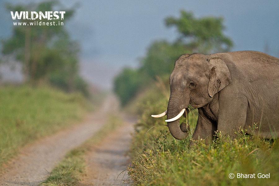 corbett-dhikala-elephant