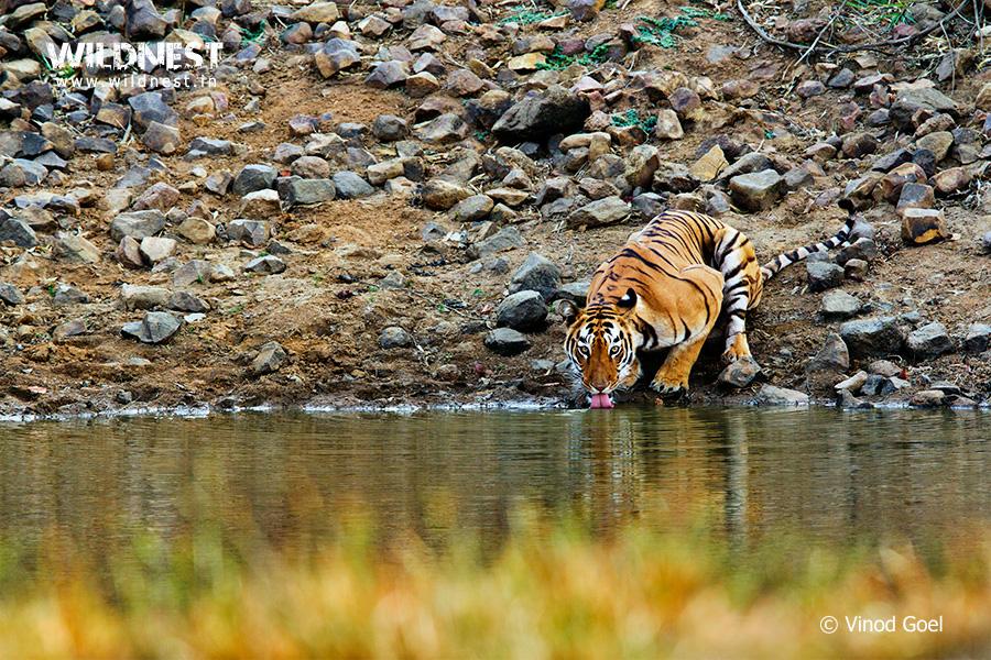 tadoba-tiger-drinking water