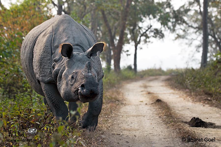 rhinoceros at kaziranga national park