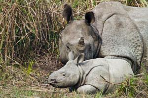 rhinoceros with baby at kaziranga national park
