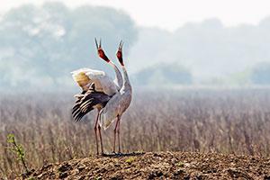 sarus crane dancing at keoladeo ghana nationa park
