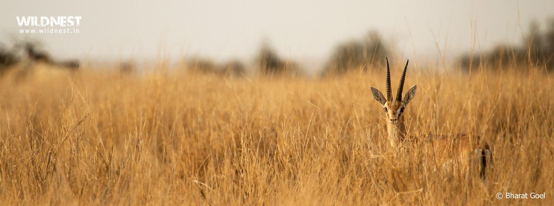 Chinkara at Desert National Park