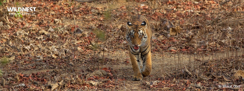tiger at panna national park
