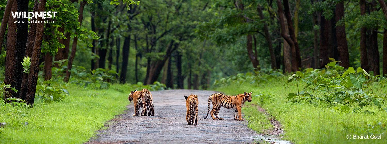 tadoba andhari tiger reserve tiger cubs