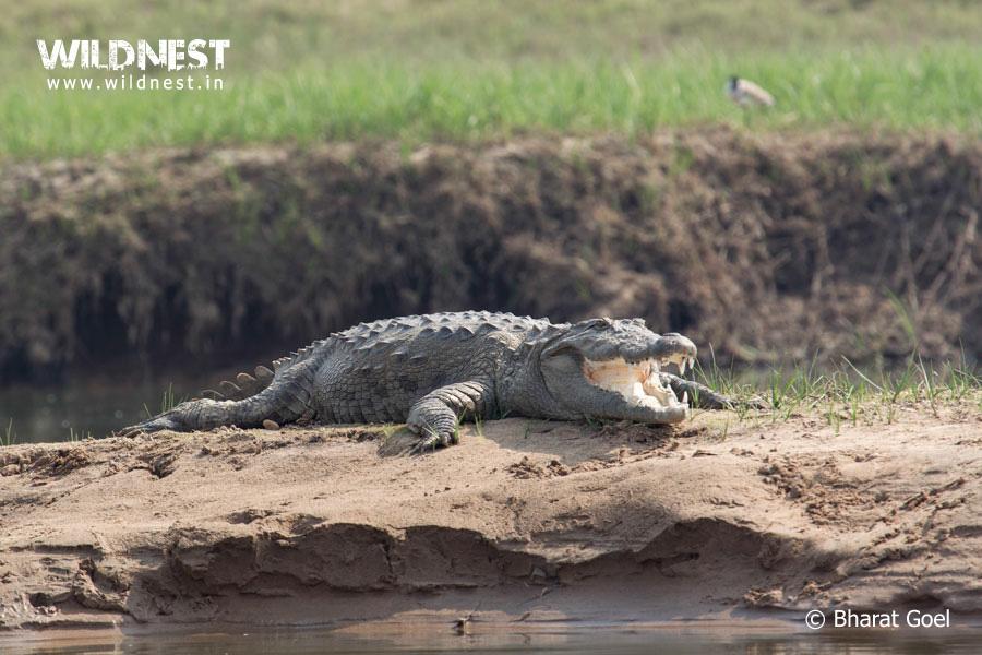 crocodilel taking sunbathe at chambal wildlife sanctuary