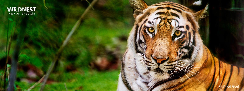 tiger bandhavgarh national park