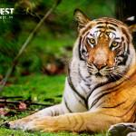 Tigress known as Mirchaani in Bandhavgarh National Park