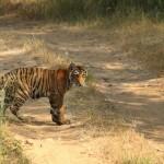 tiger cub at tadoba andhari tiger reserve