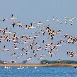 flamingos in flight at little rann of kutch