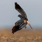 harrier in flight at little rann of kutch