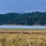 deer herd at corbett tiger reserve
