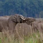elephant fight at corbett tiger reserve