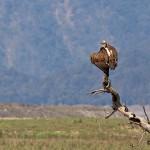 himalayan griffon at corbett tiger reserve