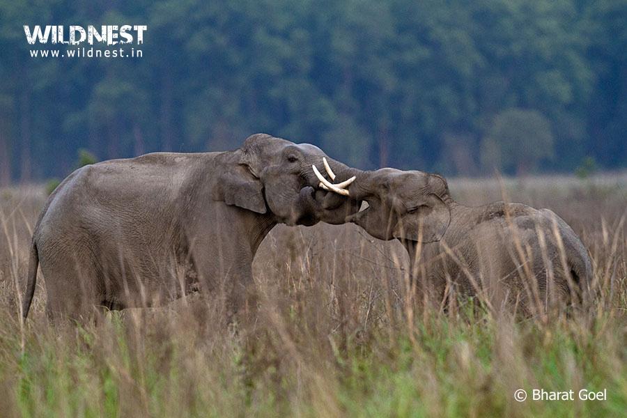 elephant fighting at corbett tiger reserve