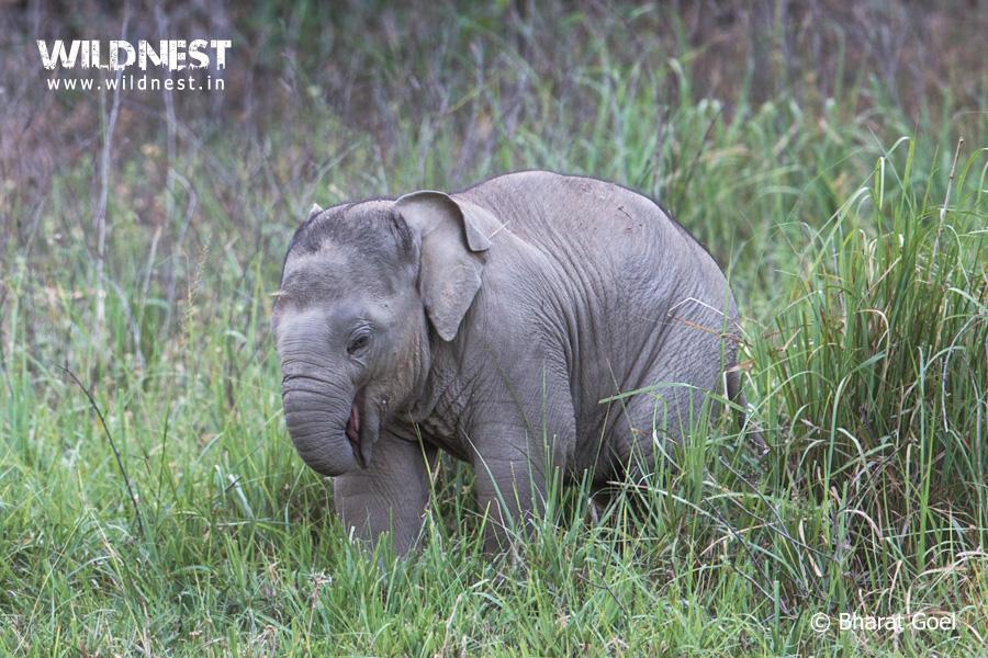 elephant baby at rajaji national park