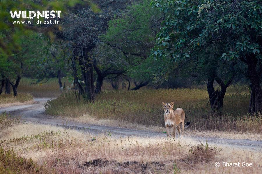 lion in habitat at gir national park