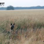 hyena in habitat at velavadar
