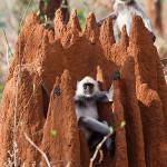 langur at nagzira wildlife sanctuary