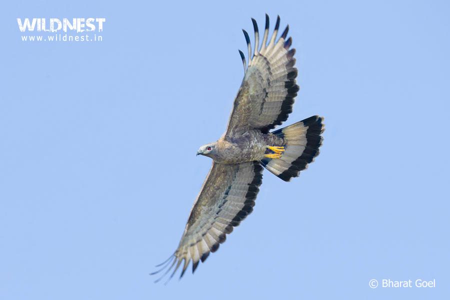 oriental honey buzzard at tadoba andhari tiger reserve