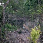 leopard at rajaji national park