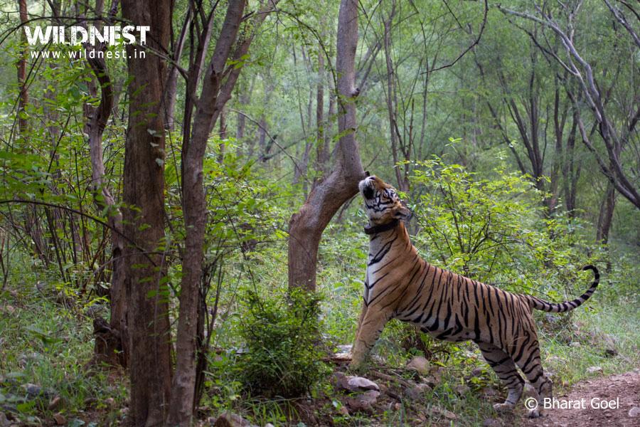 Sariska Wildlife Destinations Near Delhi