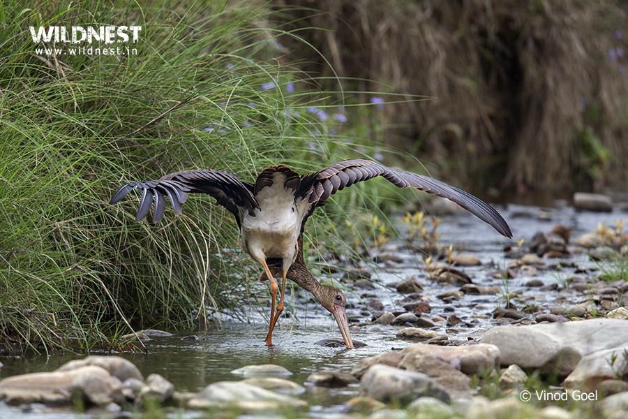 stork at Rajaji Vinod Goel Wildlife Photographer