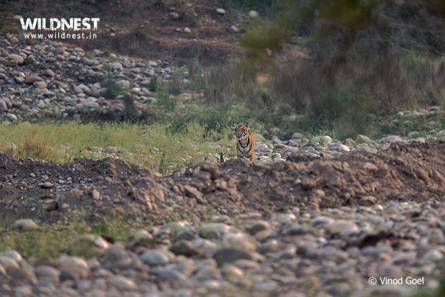 Tiger at Rajaji National Park