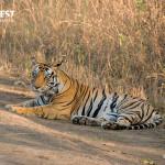 Tiger Relaxiing at Kanha National Park