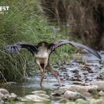 Black Crane at Rajaji National Park