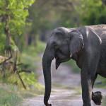 Elephant in Habitat at Rajaji National Park