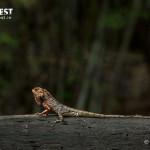 Lizard at Tadoba Andhari Tiger Reserve