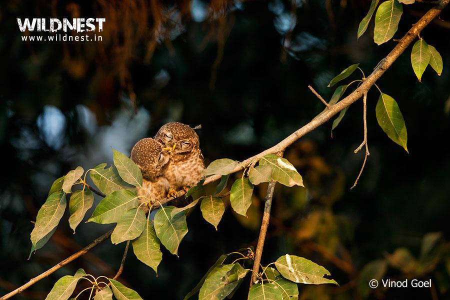 Owlet courtship at delhi