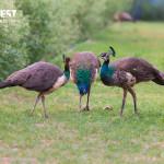 Peacock courtship at delhi