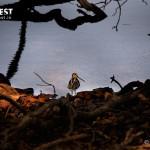 Snipe Bird at Tadoba Andhari Tiger Reserve