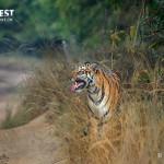 Tiger doing flehmen display at Tadoba Andhari Tiger Reserve
