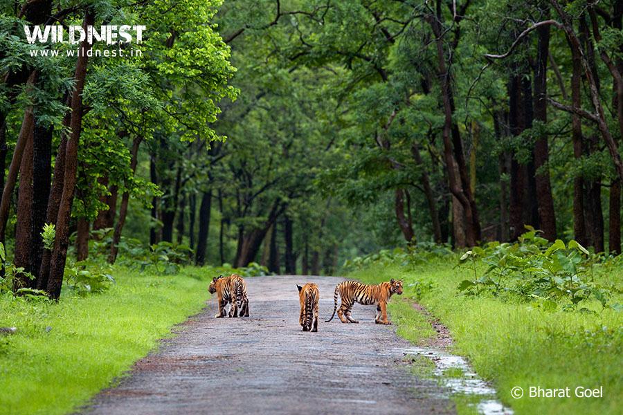 Tiger Cubs at Tadoba in Monsoons
