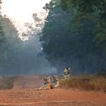 Tiger family at Tadoba Andhari Tiger Reserve