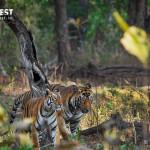 male & Female tiger at tadoba andhari tiger reserve