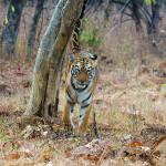 Tiger marking at Tadoba Andhari Tiger Reserve