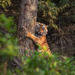 tiger at tadoba andhari tiger reserve