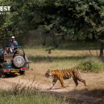 Tiger Safari at Ranthambore National Park