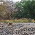 Tiger walking in habitat at Ranthambore National Park