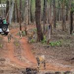 Tiger Safari at Tadoba Andhari Tiger Reserve