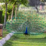 Peacock in Sunder Nursery Nizamuddin Delhi