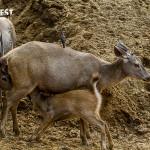 Deer fawn feeding at Sariska Tiger Reserve