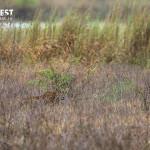 leopards in rajaji national park