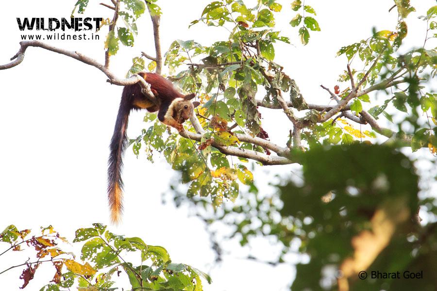 Malabar Gaint Squirrel at Satpura National Park