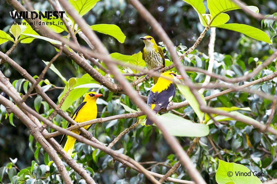 Golden Oriole or sone chidiya in Delhi,